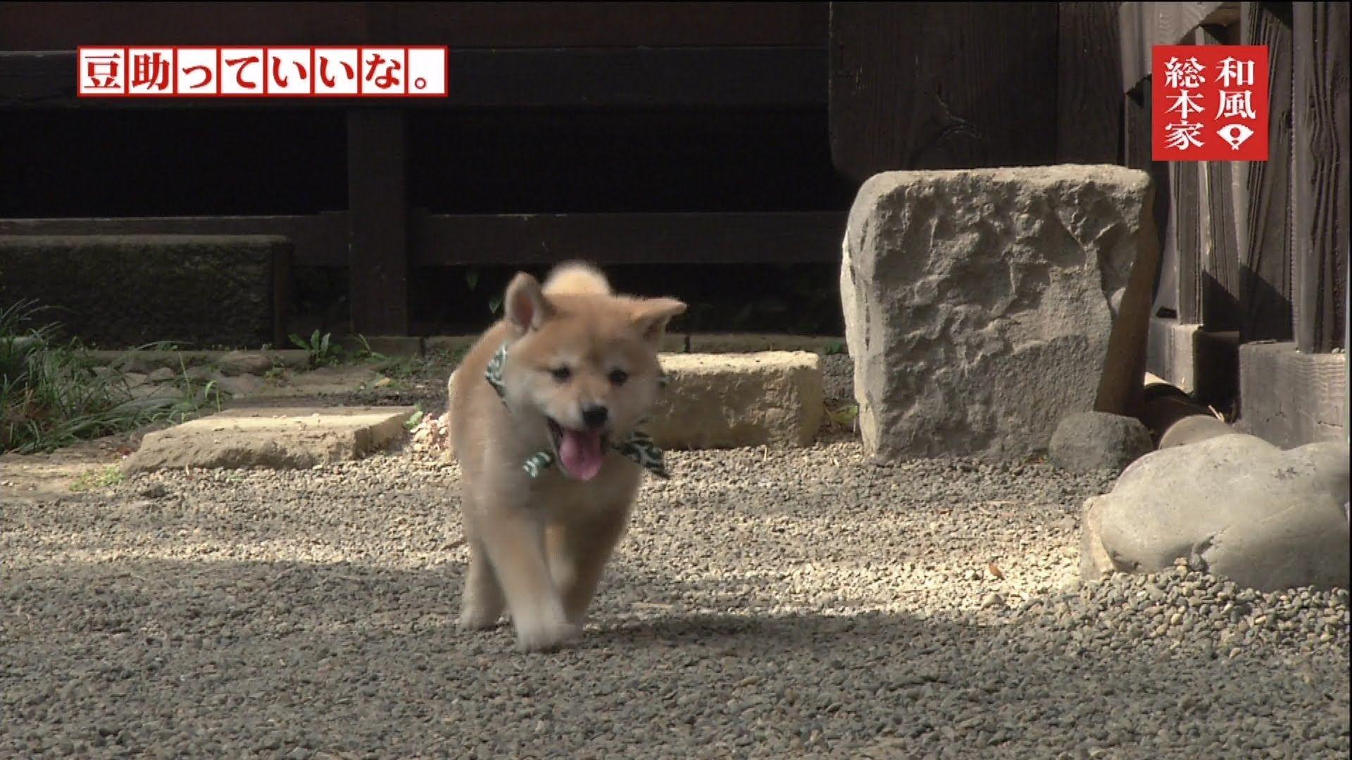 豆助っていいな 1 お散歩大好き編 柴犬 いぬ 犬