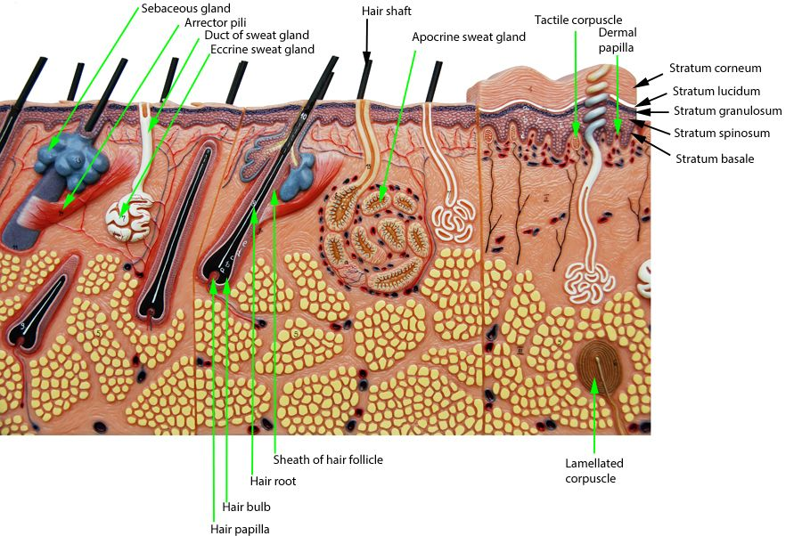 Integument Ap2innescle Pinterest Human Anatomy