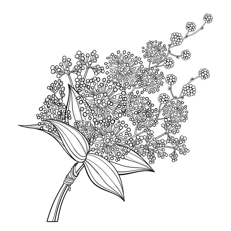 Vector Bouquet Of Outline Mimosa Or Acacia Dealbata Or Silver Wattle Flower And Leaves In Black Isolated On White In 2020 White Background Vector Illustration Flowers