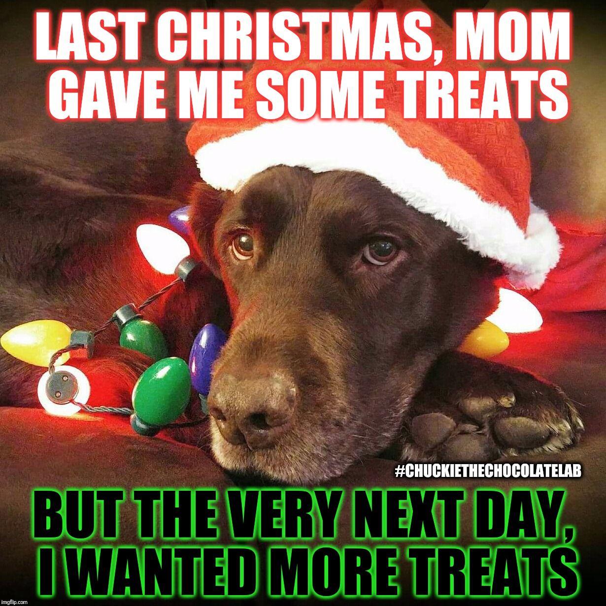 Chuckie The Chocolate Lab Teamchuckie Christmas Memes Funny Christmas Memes Christmas Dog