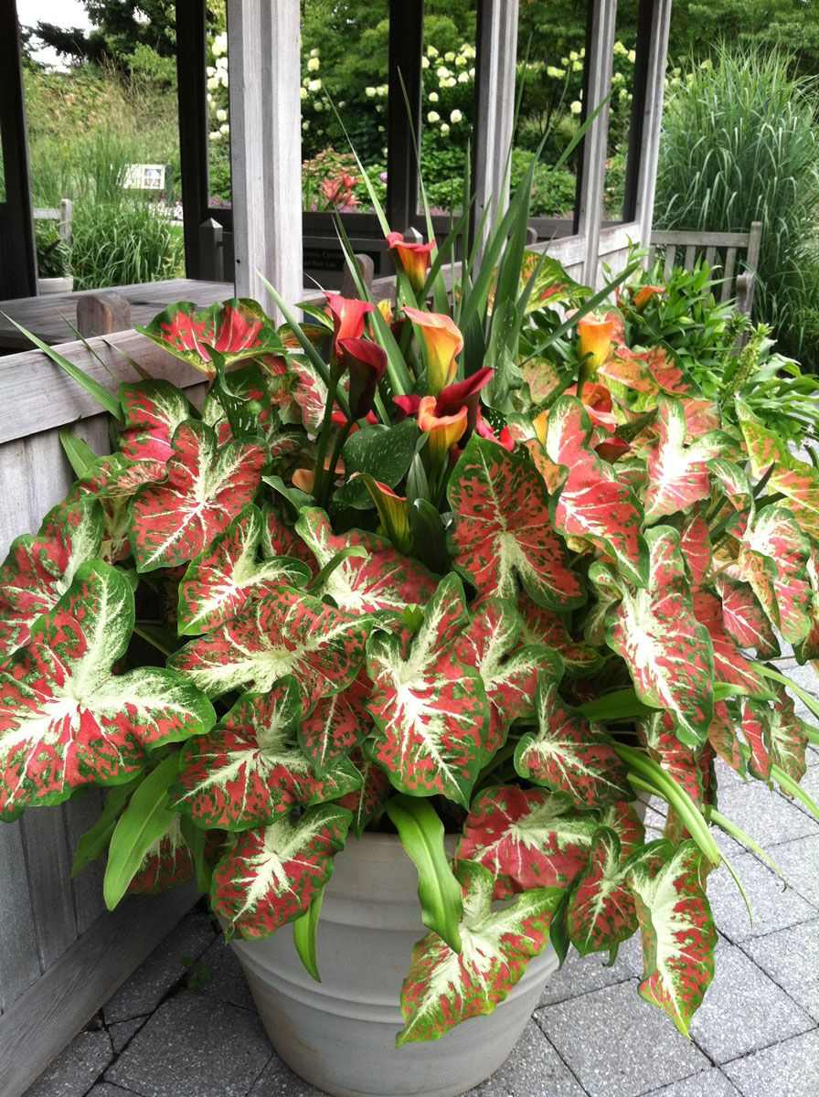 Colorful Caladiums Plants Container