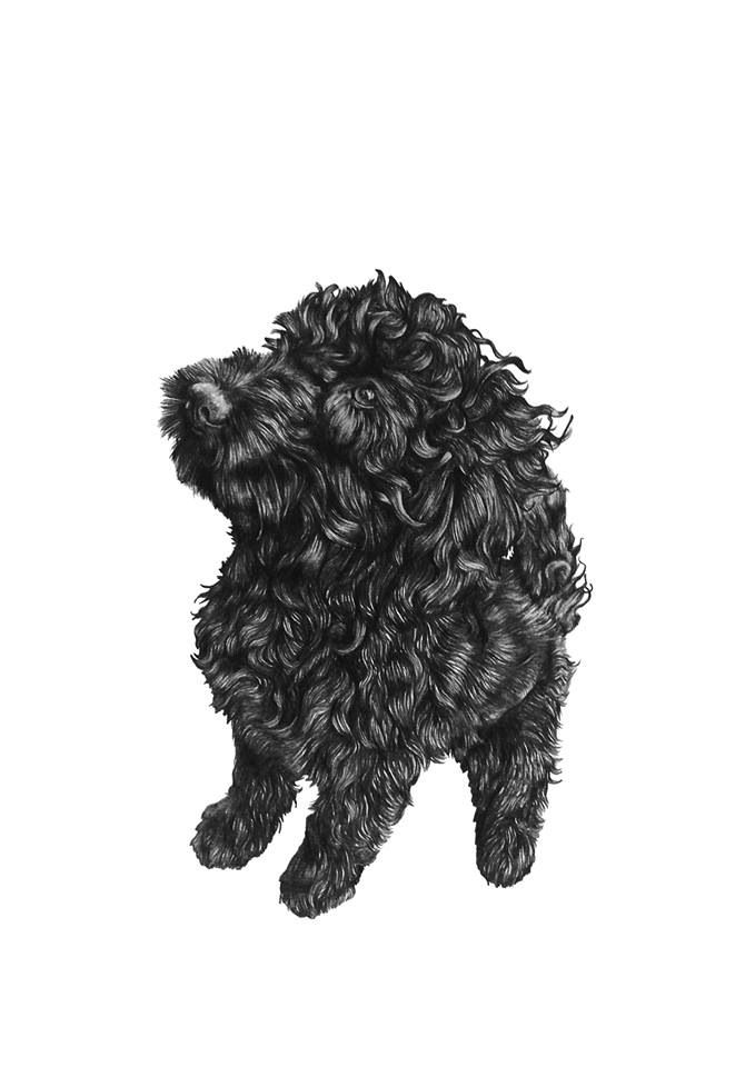 Prints Available Of Ted The Cockapoodrawing