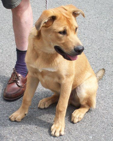 Shepherd Lab Mix Labrador funny, Mixed breed dogs