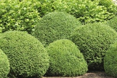 Common Boxwood Varieties Learn About Diffe Types Of Boxwoods