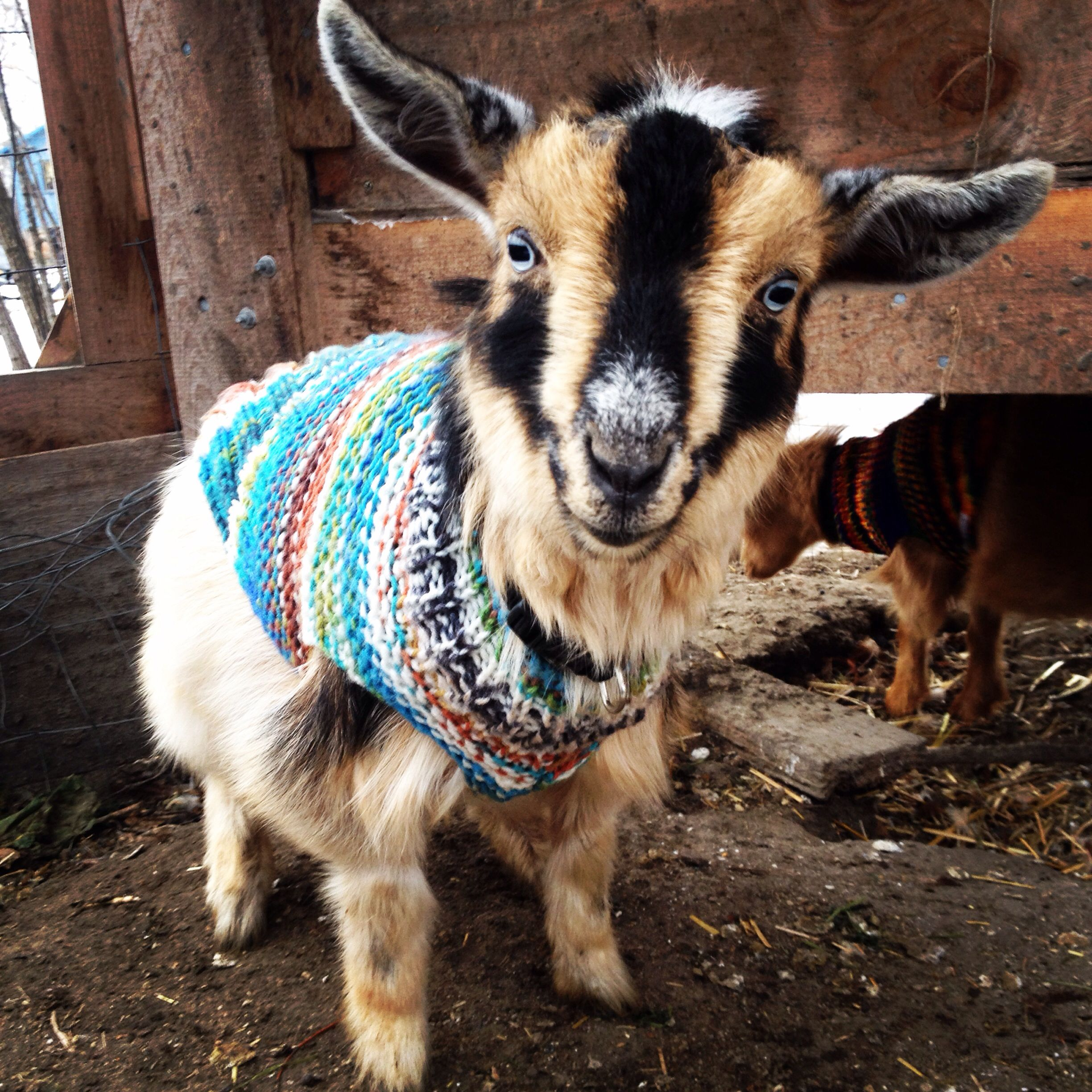 Tiny Goat In A Tiny Sweater Goats In Sweaters Goats