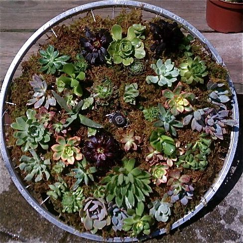 a vertical succulent garden made by 4th and 5th graders using an old bike rim and spokes this. Black Bedroom Furniture Sets. Home Design Ideas