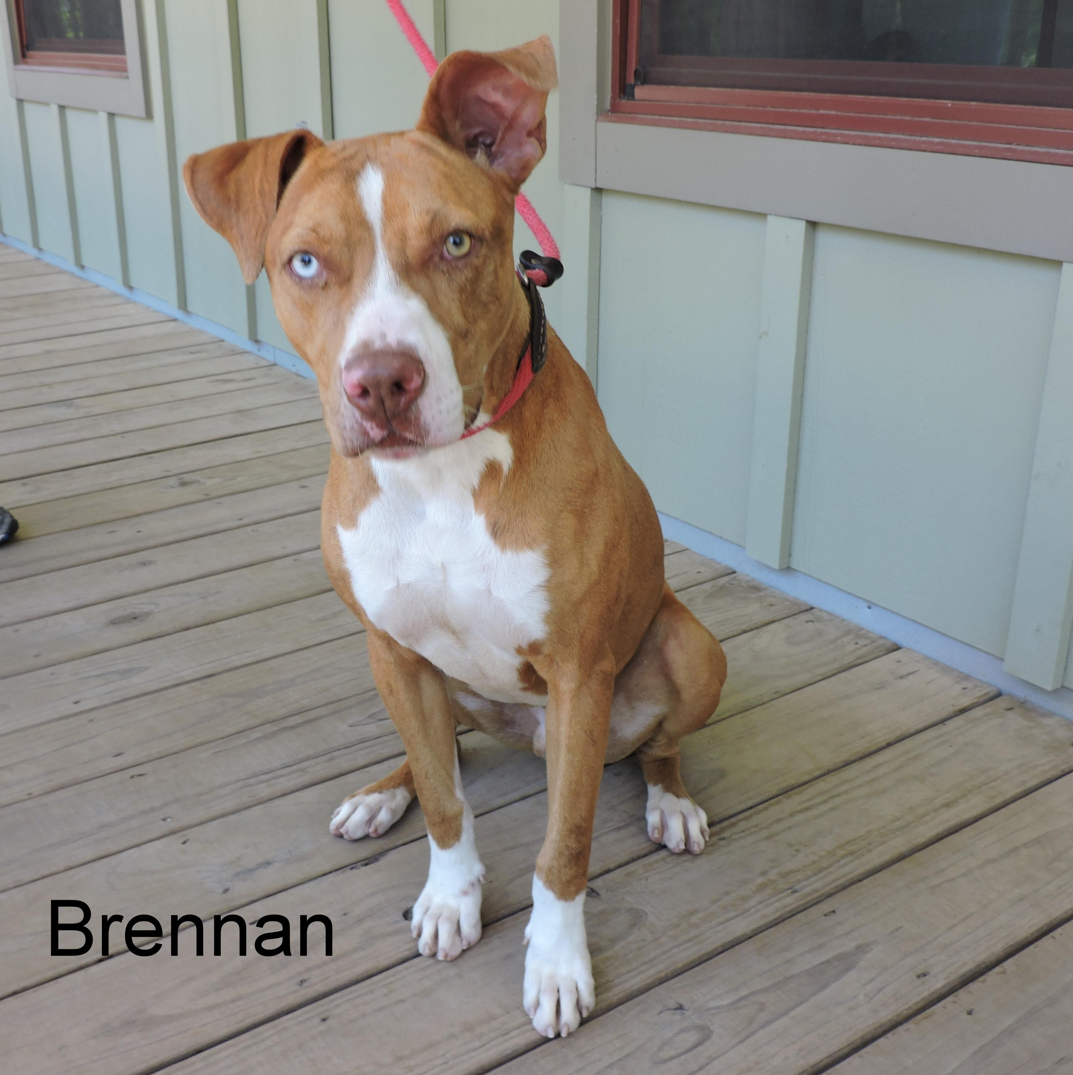 Adopt Brennan On Terrier Mix Dogs Pitbull Terrier Losing A Pet