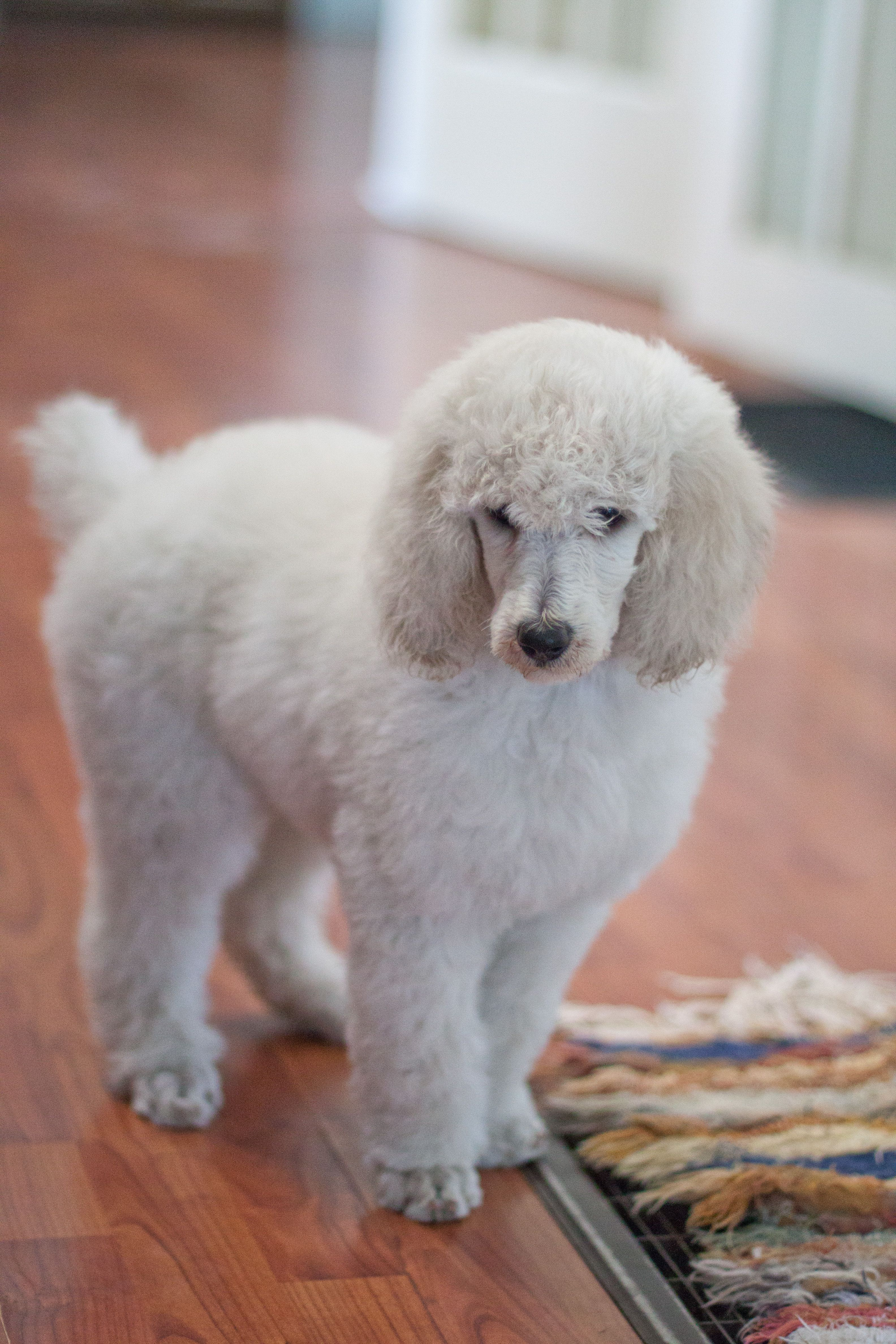 Black Standard Poodle Puppies Standard Poodle Puppies Walnut