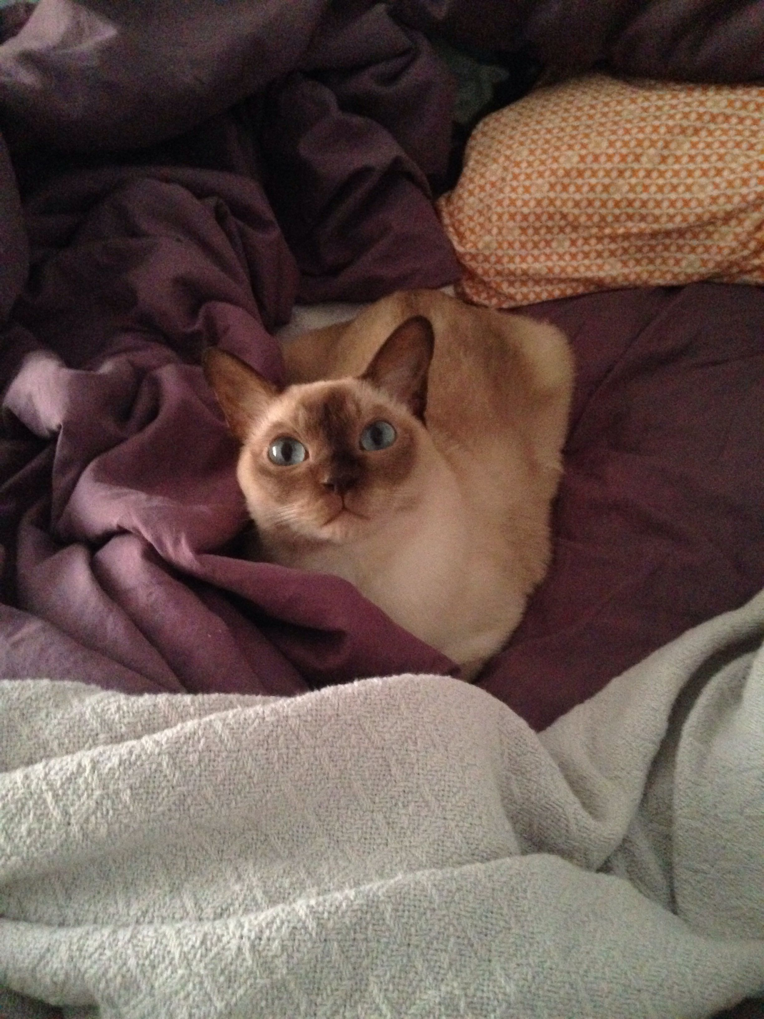 Champagne Mink Tonkinese Male His name is Bacon