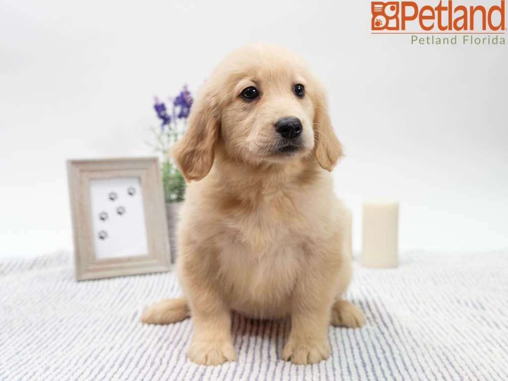Sunny Golden Retriever With Images Golden Retriever