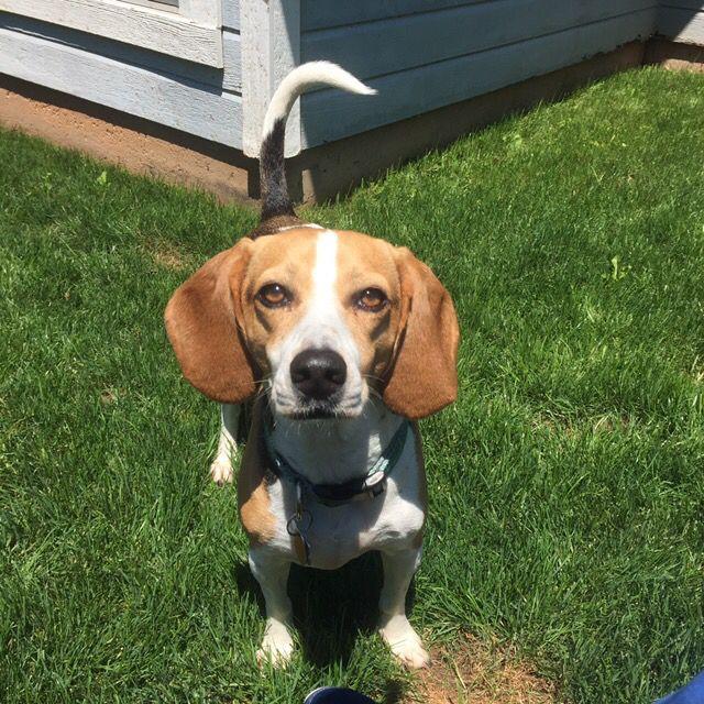 Beagle Beauty Seraphina Beagle Pinterest Beagle Dogs And