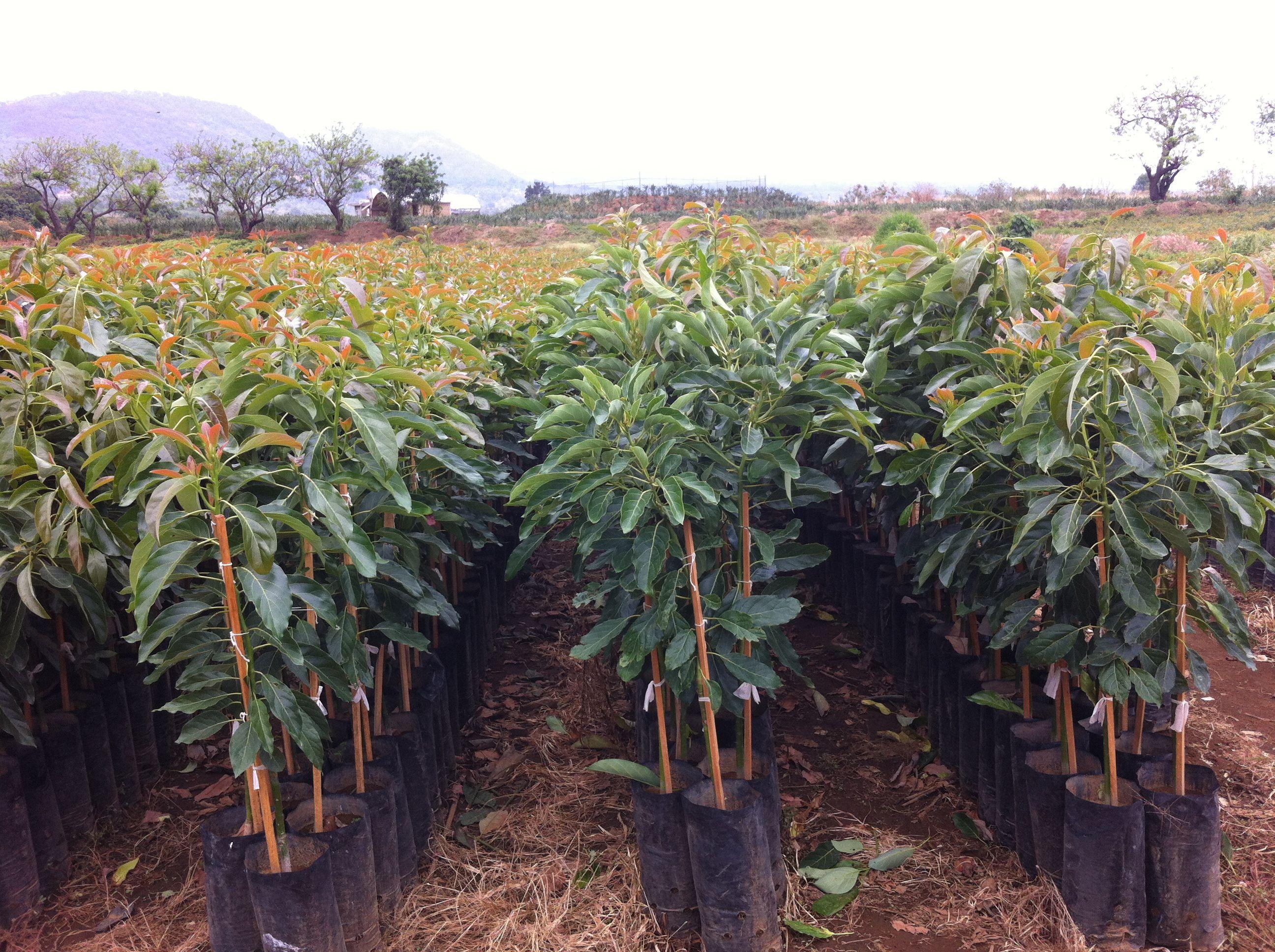 Planta Del Aguacate Fotos