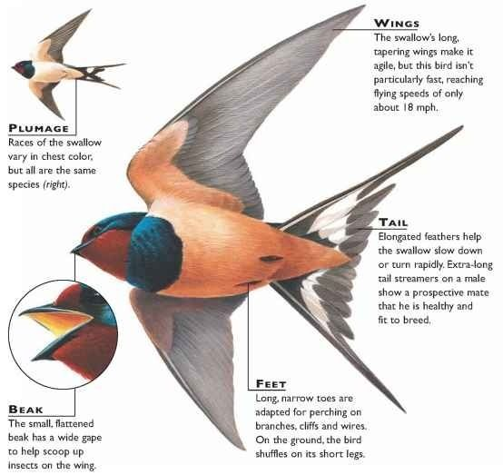 Barn Swallow | Twi | Pinterest | Barn swallow and Swallows