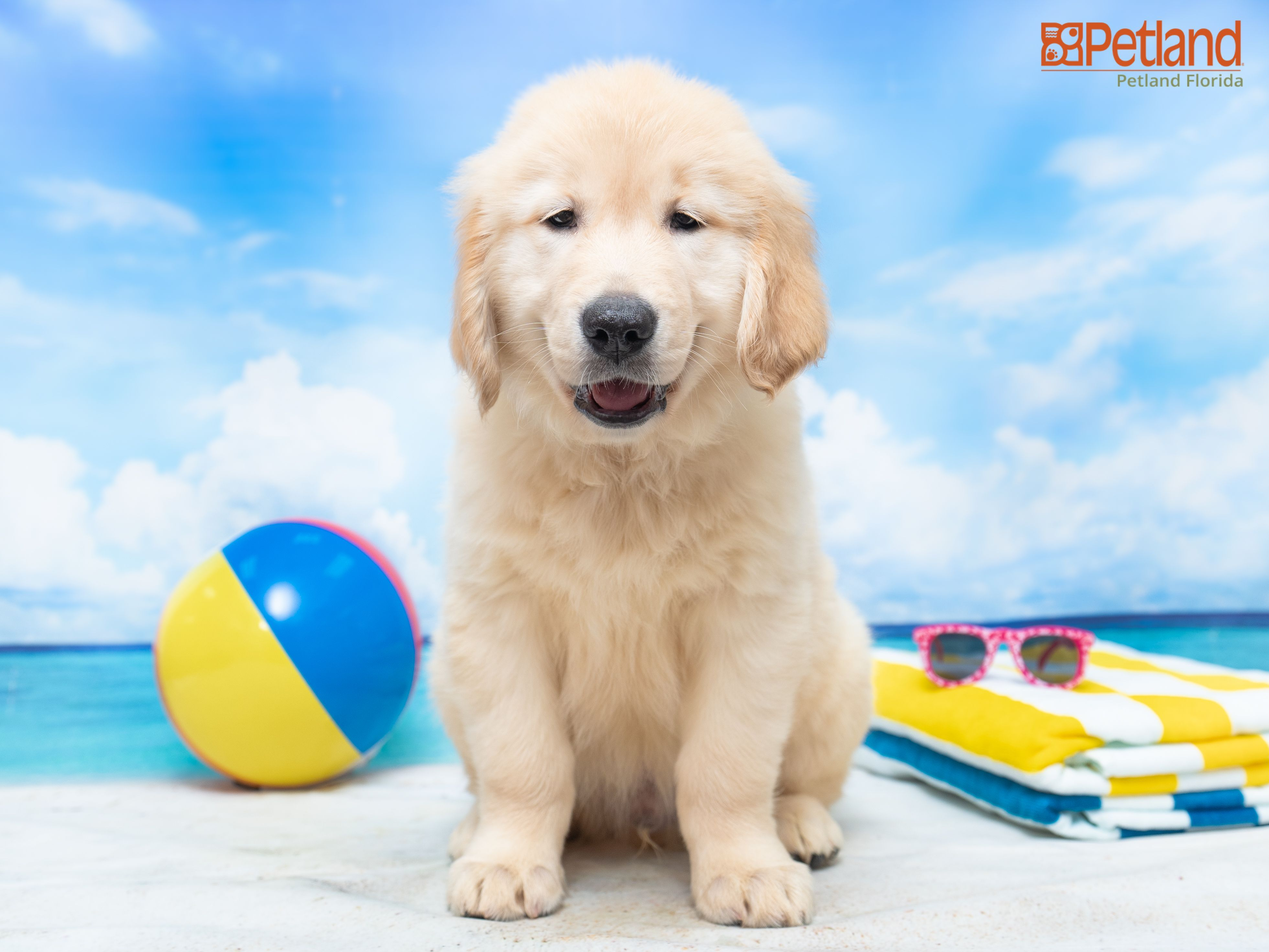 Petland Florida Has Golden Retriever Puppies For Sale Check Out All Our Available Puppies Goldenretriever Puppy Do In 2020 Puppy Friends Retriever Puppy Puppies