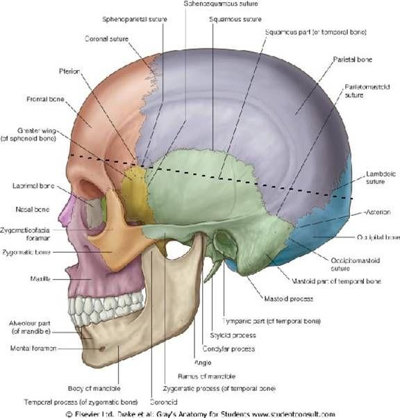 Occipital Bone Anatomy And Kinesiology Anatomy Dental Skull