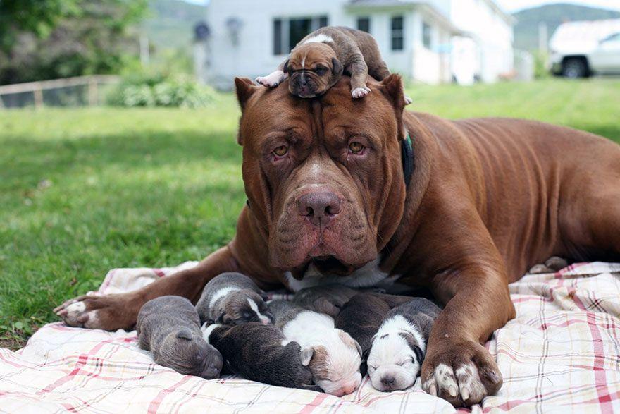 Pin By Robert Osborne On Big Dogs Dangerous Dogs Puppy Litter