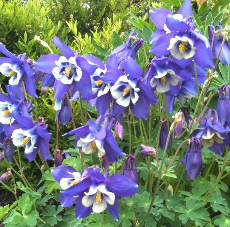 Aquilegia caerulea Blue Star   Akelei