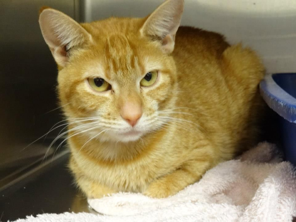 Autumn is a less common female orange tabby, typically are