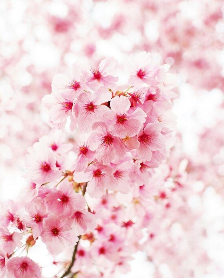 Cherry Blossom Tree Summer Sakura Cherry Blossom Cherry Blossom Wedding Blossom