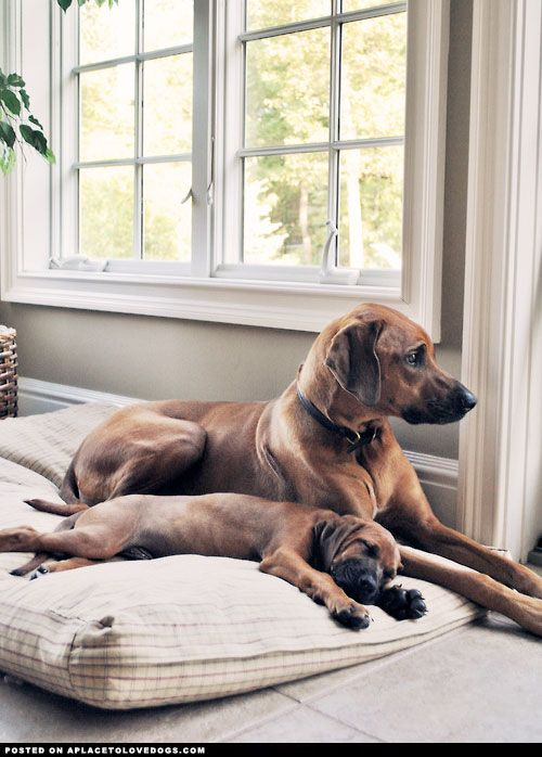 Gorgeous Rhodesian Ridgebacks