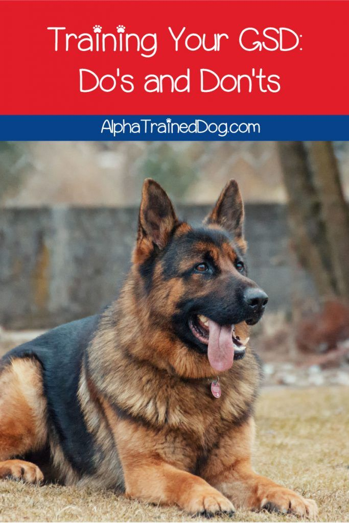 If You Re Looking For Tips On Training Your Gsd Dog We Ve Got You