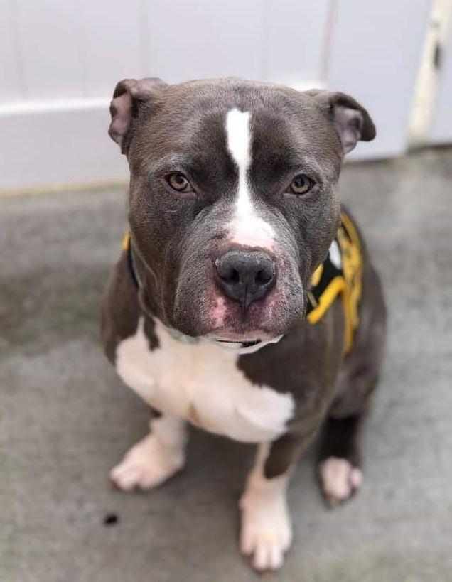 Adopt Tobias Carlos On Petfinder In 2020 Miniature Pinscher Dog Pitbull Terrier Dog Adoption