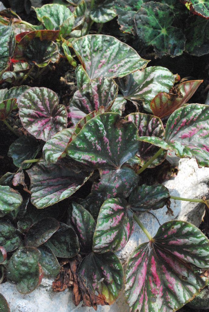 秋海棠科 Begonia Leaf Characteristics Plantas Hermosas