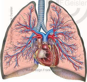 23+ Respiratorisches System des Menschen