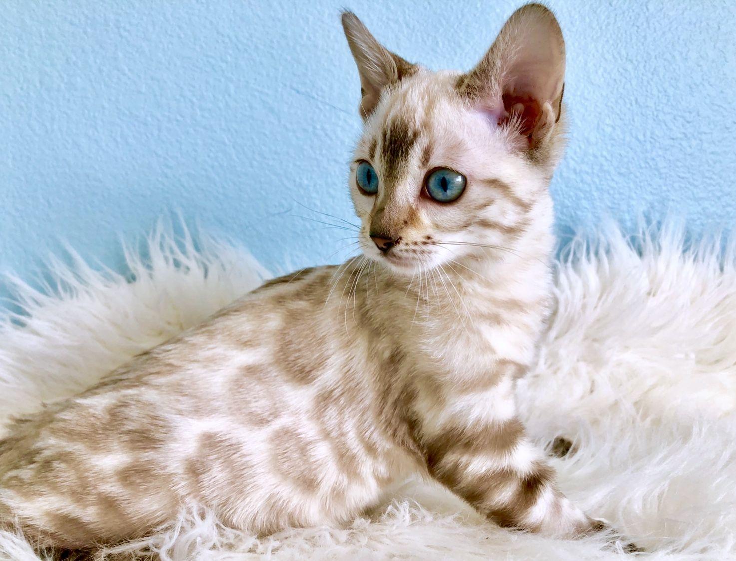 Bengal Cats For Sale Asian leopard cat, Bengal cat