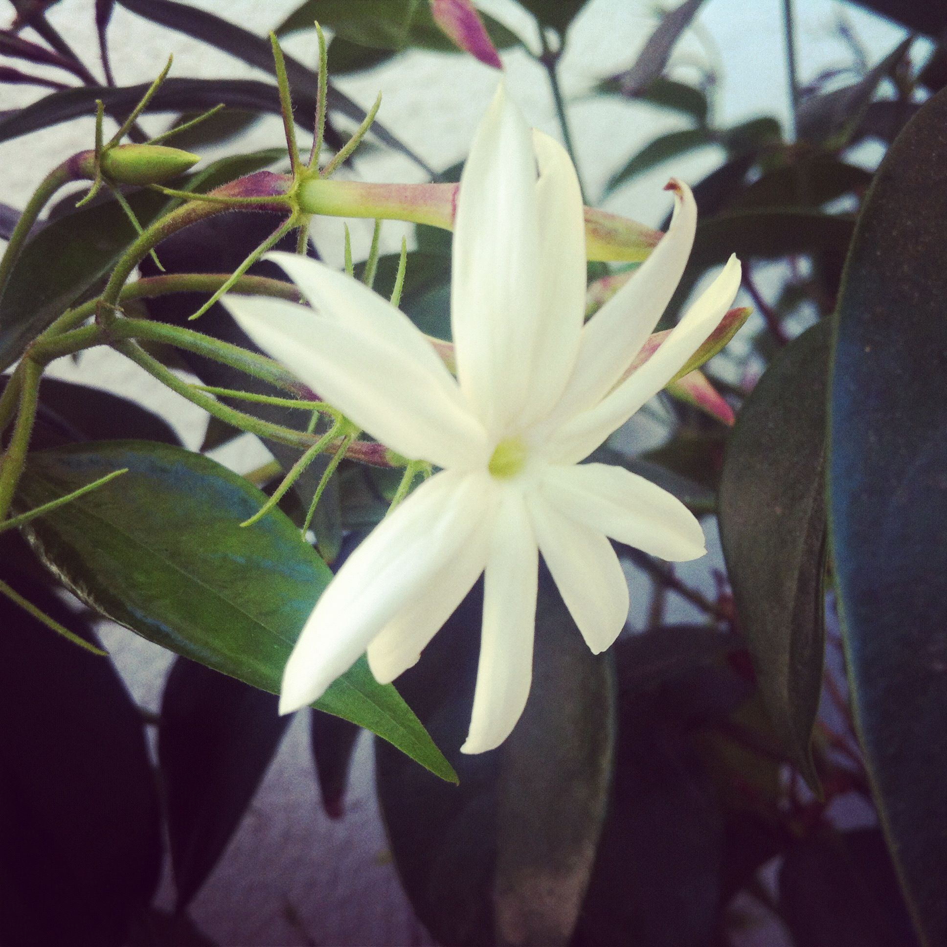The sweet scented jasmine flower has many varieties and is a the sweet scented jasmine flower has many varieties and is a favourite of india izmirmasajfo