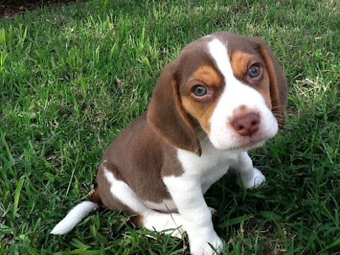 Arthur My Chocolate Beagle 3 Beagle Puppy Puppies Beagle Dog