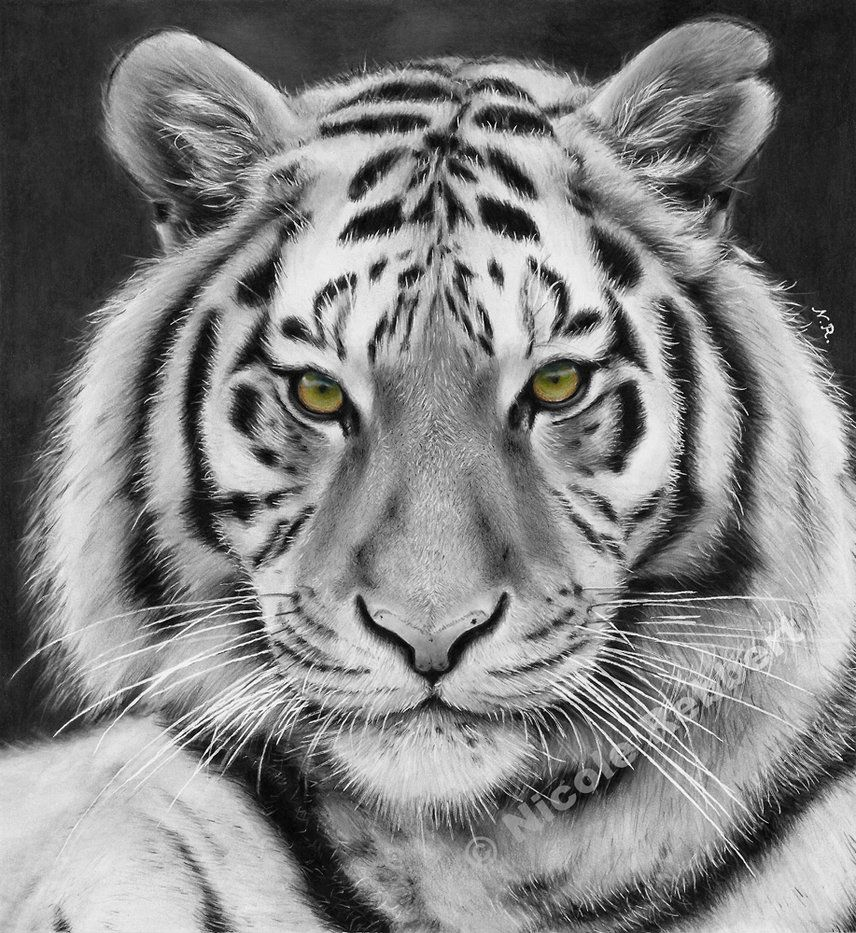 Tiger: Black And White Tiger (drawing) By Quelchii On DeviantArt