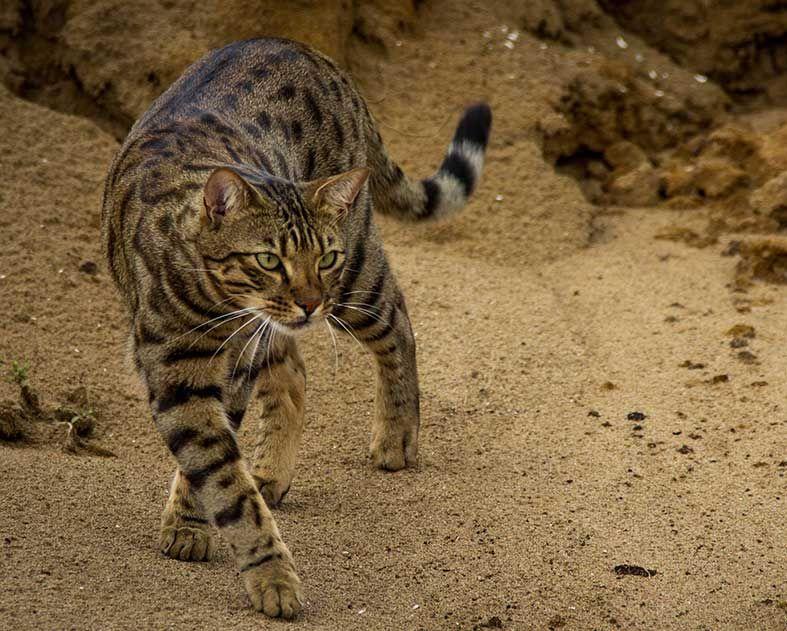 Grey Cheetoh Cat