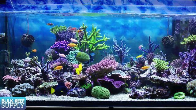 Brs Tv Bulk Reef Supply Saltwater Aquarium Saltwater Tank Reef Aquarium