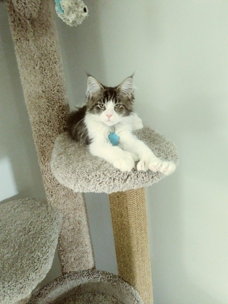 Pin On Our Maine Coon Cats