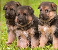 German Sheperd Puppies Shepherd Puppies German Shepherd Puppies Black German Shepherd Dog