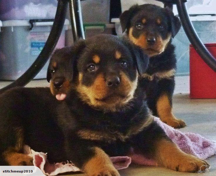 Rottweiler Puppies Purebred Trade Me Rottweiler Rottweiler