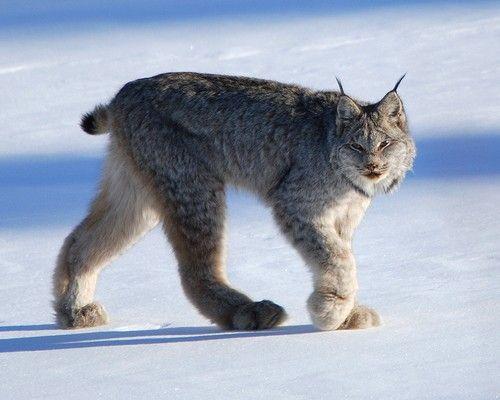 Canada lynx walking through the snow