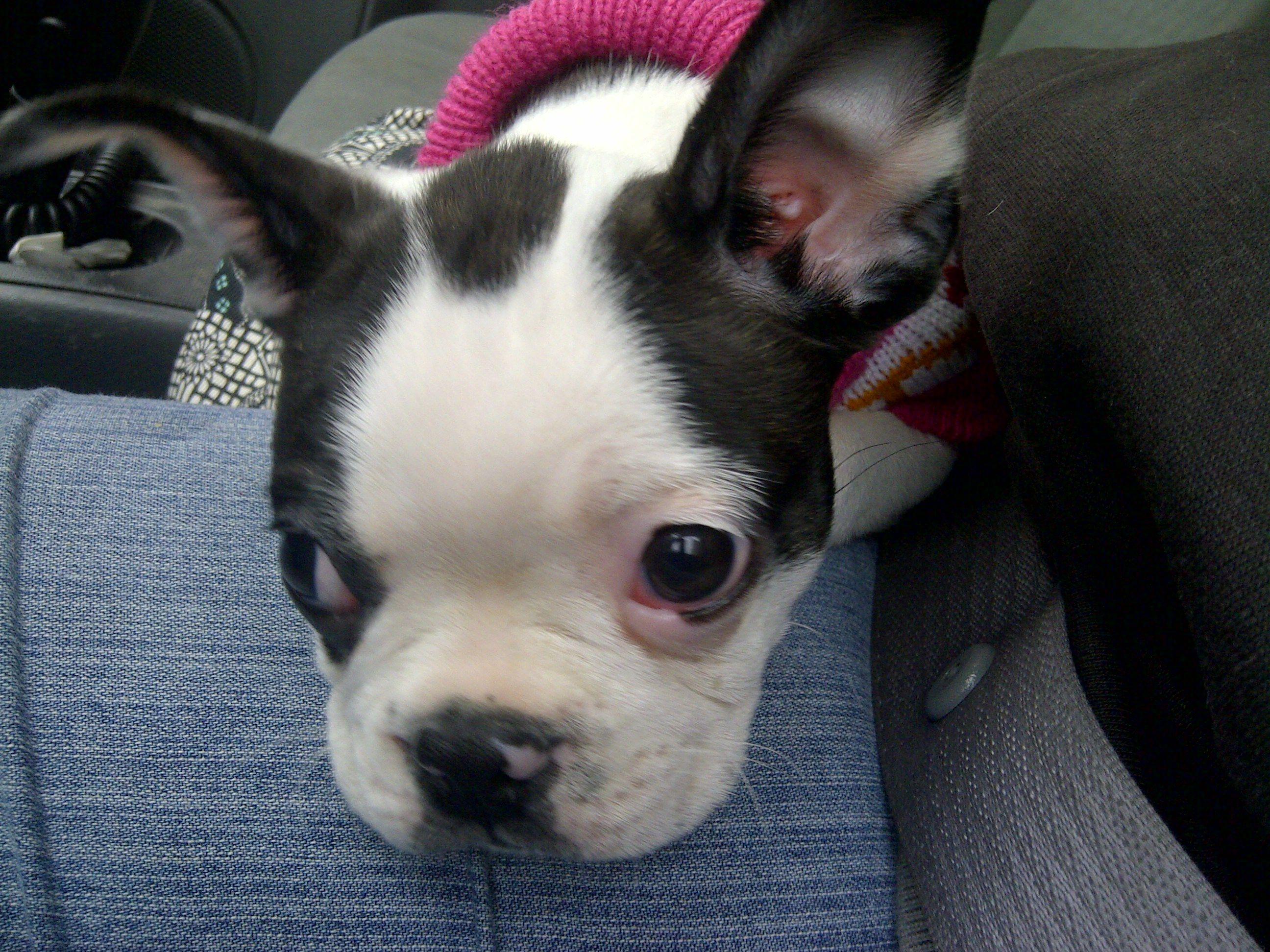 Punky At 10 Weeks Wichita Ks Boston Terrier World My Happy