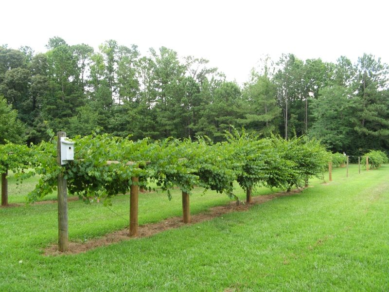 meet muscadine singles Meet our staff events  a single application between 1400 and 1500 dd will provide sufficient protection,  muscadine and vinifera grapes.