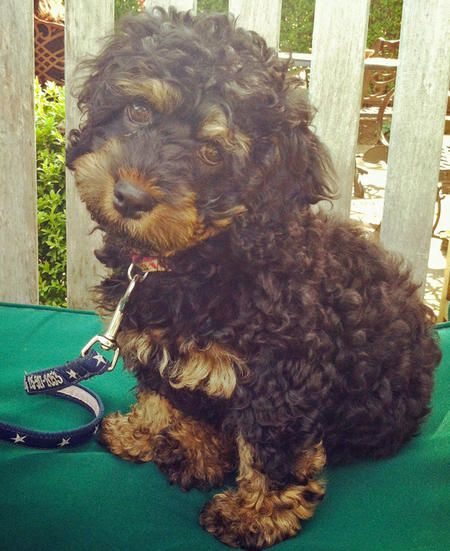 Rottle: Rottweiler poodle mix! | For the pups | Pinterest ...