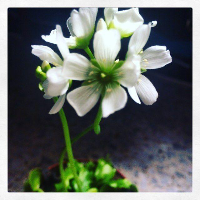 Mi dioni se cree que estamos en primavera #laprimaveralasangrealtera #laprimaveratrompetera #venusflytrap #venusatrapamoscas by estelii_ta