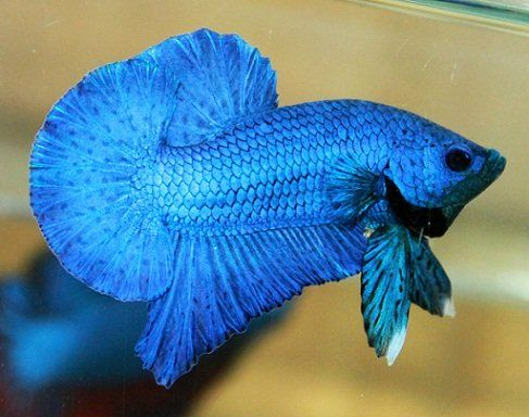 betta super blue Betta, Betta fish, Aquarium fish