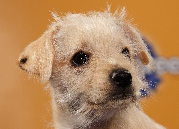Eureka from Animal Planet's Puppy Bowl VIII. She is a chiuaua terrier mix and she's what we want for our next puppy! :) So adordable!