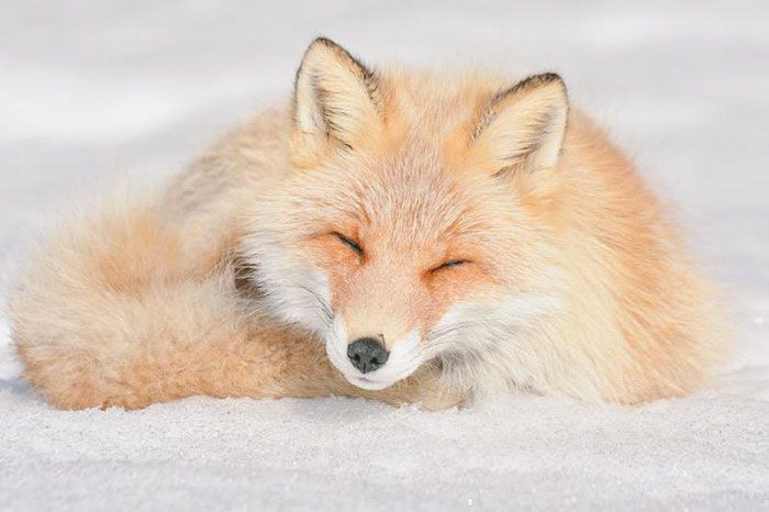 Hokkaido Red Fox - A subspecies of the common red fox