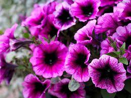 Znalezione Obrazy Dla Zapytania Petunie I Piwonie Purple Flowers