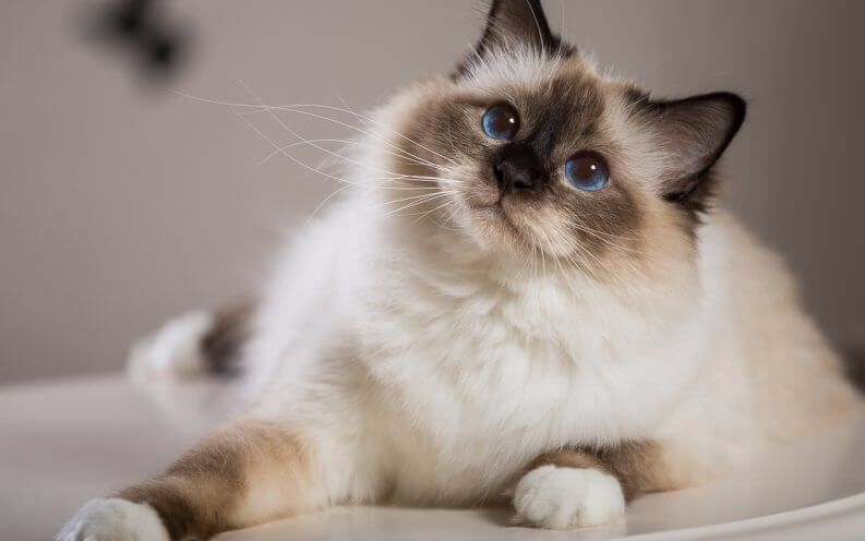 The Most And Least Expensive Cat Breeds In The World Cute Cat Breeds Cats Rare Cats