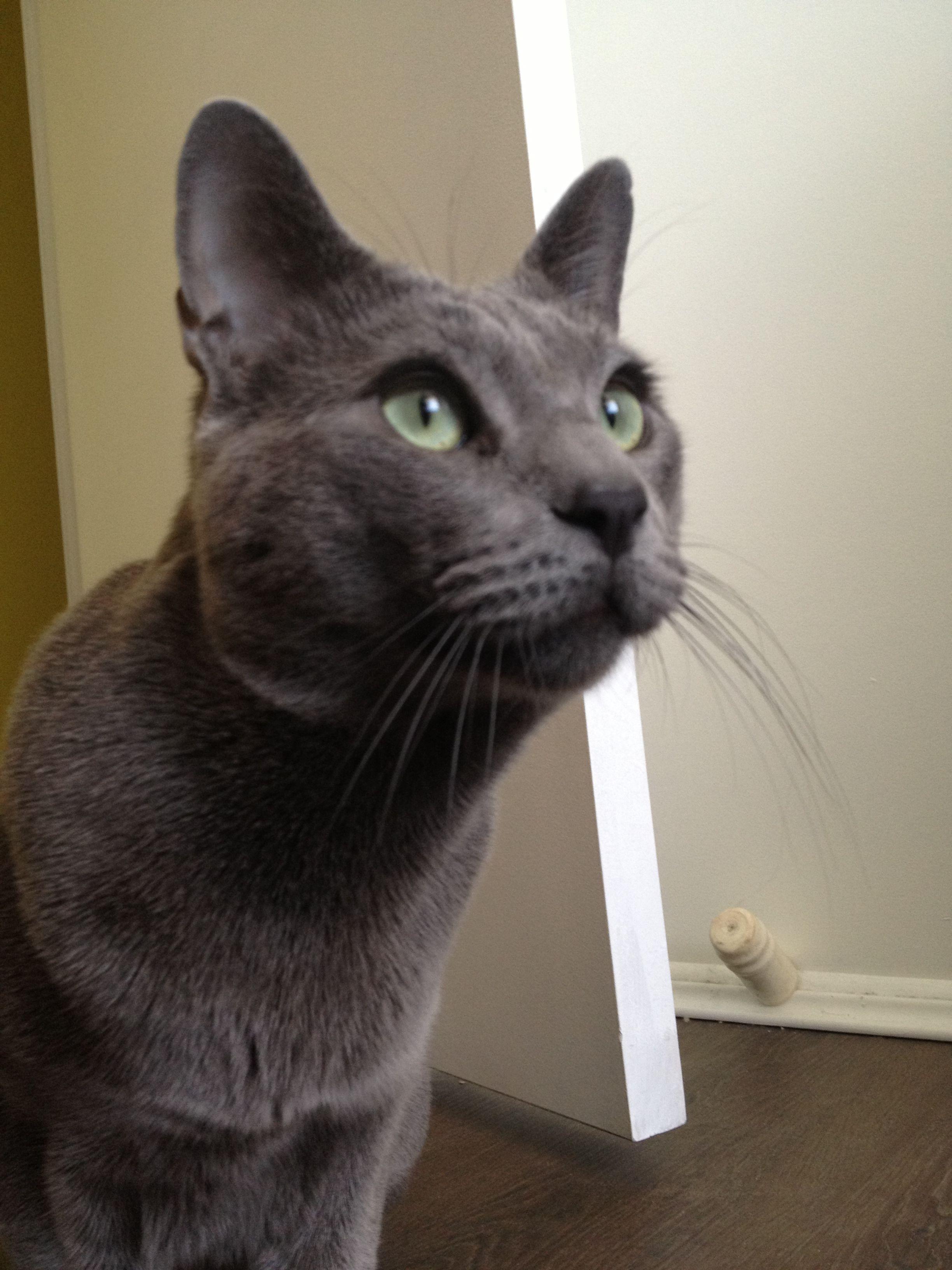 Russian blue Russian blue, Russian blue cat, Grey cats