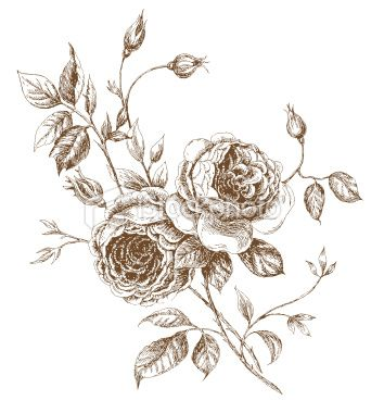 Old Styled Vector Rose Trace Of Freehand Drawing English Rose Tattoos Rose Sketch Roses Drawing