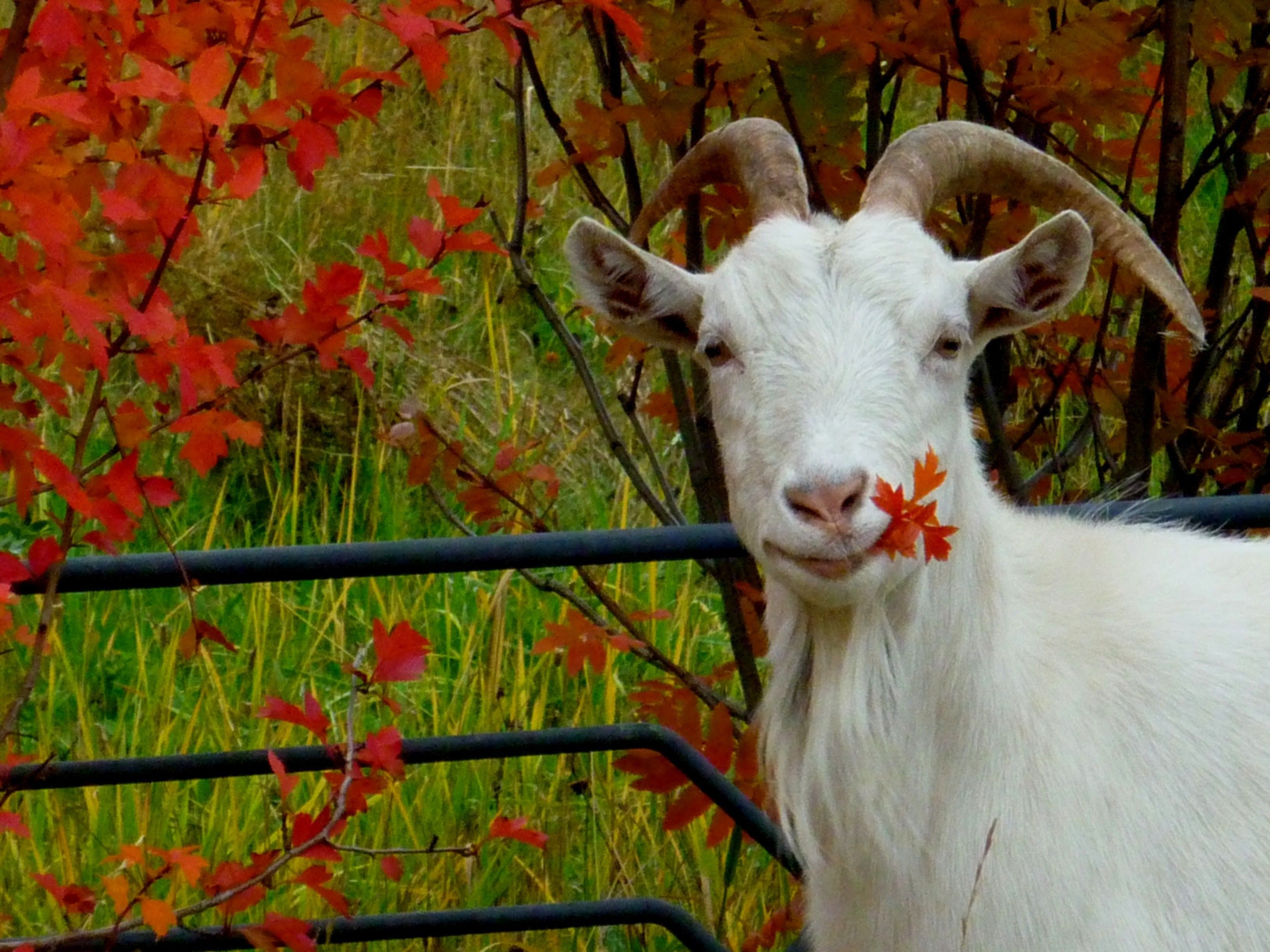 Animals Autumn Goats Leaves Wallpaper Animals Goats Sea Animals